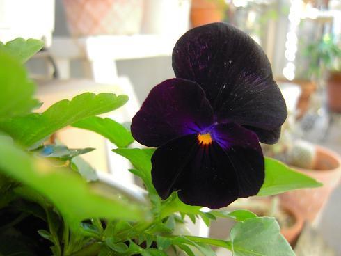 写真: ビオラ ブラックオパール
