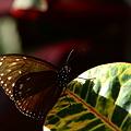 写真: タテハチョウ科 ツマムラサキマダラ♂