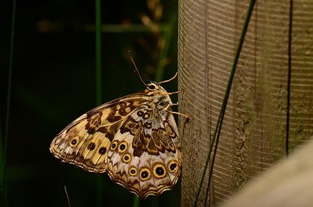 タテハチョウ科 ヤマキマダラヒカゲ