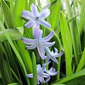 Photos: 枝咲きヒヤシンス フェスティバル ブルーの花