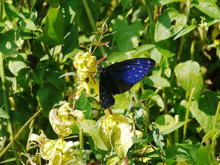 初めて見る青い美しい蝶 P1110514_R