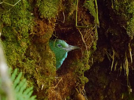 アオムネハチクイの幼鳥 P1100106_R
