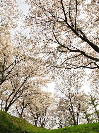 城山公園の桜・4
