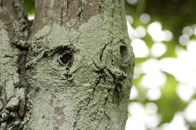 初夏の顔の木の精♪