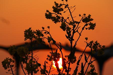 菜の花と夕陽