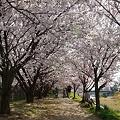 写真: 桜のトンネル