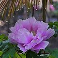 雨の牡丹園4-761c