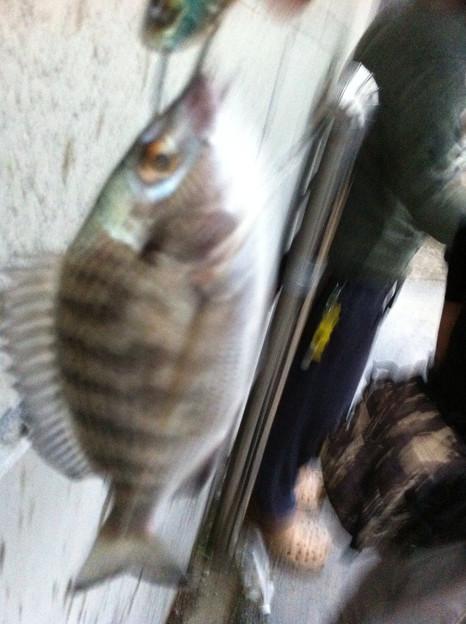 川越にて。シーバス狙いのつもりがエバグリのメタルバイブでチヌ釣れた。バスタックルはオールマイティ?