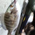 Photos: 川越にて。シーバス狙いのつもりがエバグリのメタルバイブでチヌ釣れた。バスタックルはオールマイティ?