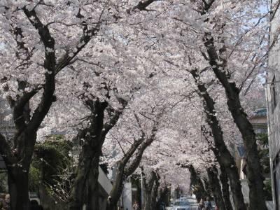 桜のトンネル(のぼり)
