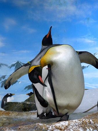 20111223 鴨川 ペンギン音頭02