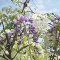 我が家の藤の花1