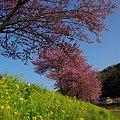 2012年3月6日 南伊豆町 「みなみ桜」 (1)