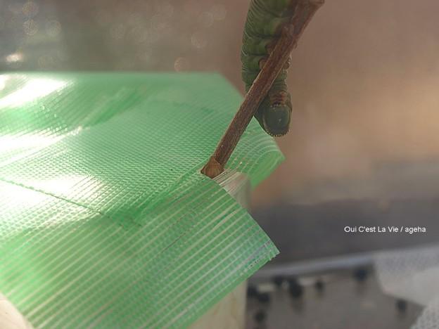 蛹化前のガガさま(オオスカシバ幼虫)明らかに困っている。