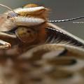 Photos: ツマグロヒョウモン飼育(二本口吻とマダラ触角)。