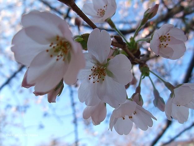 2012桜。今年も早速美しすぎてくらくらするー。