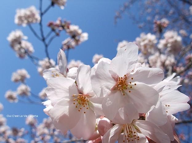 桜2012。東京にしては珍しく空真っ青。