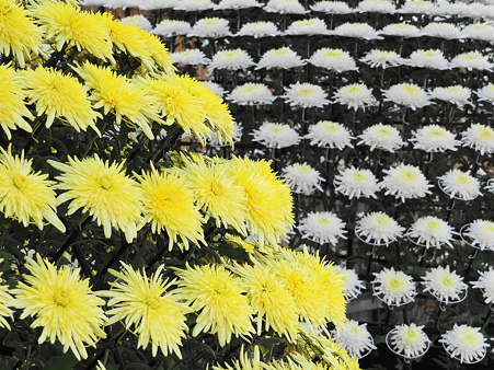 黄菊と白菊の千輪仕立て