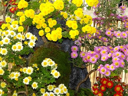 菊の寄植え