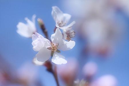 純白の四季桜
