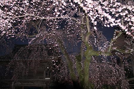 安長寺の枝垂れ桜