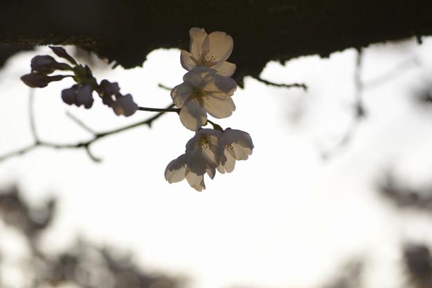 Photos: 黄昏時の春の詩