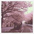 写真: 白石CRの桜(色調調整済み)