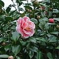 Photos: 垣根の花1