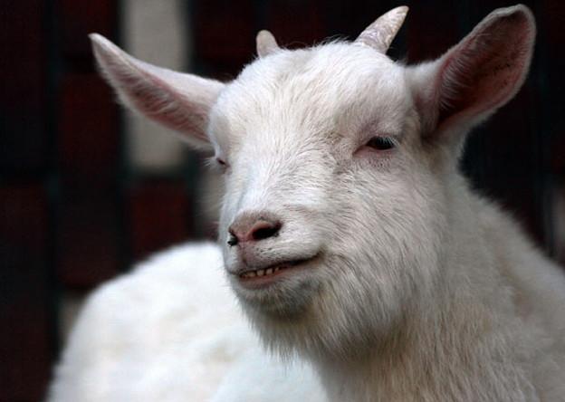 心で聞いた ヤギのお話