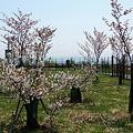 比布大雪PA の千島桜
