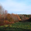 Tamaracks and Evergreens