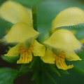Golden dead nettle