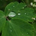 Raindrops on Columbine Leaves