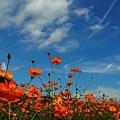 写真: 秋空とキバナコスモス