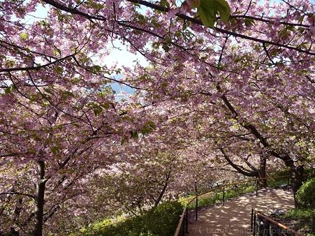 120329-松田山 河津桜 (54)