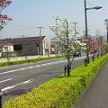松山はなみずき通り1