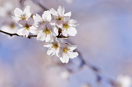 咲いた咲いた桜が咲いた。