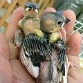 写真: 文鳥の雛。 桜文鳥。二週間...