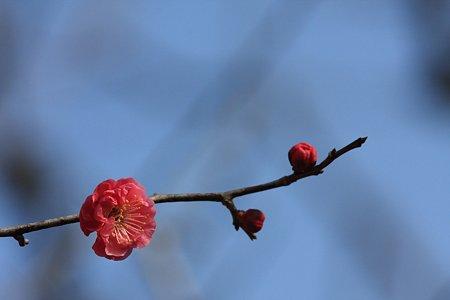 2012.02.13 大池公園 八重寒紅