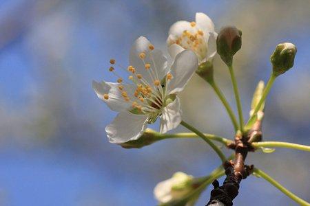 2012.04.05 和泉川 ミドリザクラ 花一つ