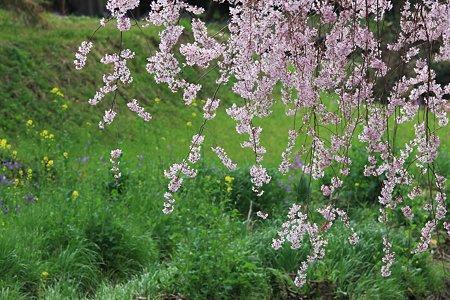 2012.04.13 和泉川 シダレザクラのある風景