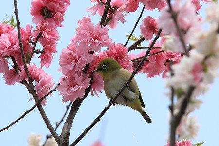 2012.04.21 和泉川 モモにメジロ