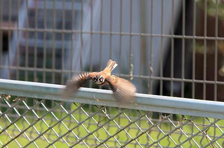 2011.07.05 和泉川 ホオジロ