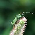 Photos: 2011.09.02 和泉川 エノコログサにクモヘリカメムシ