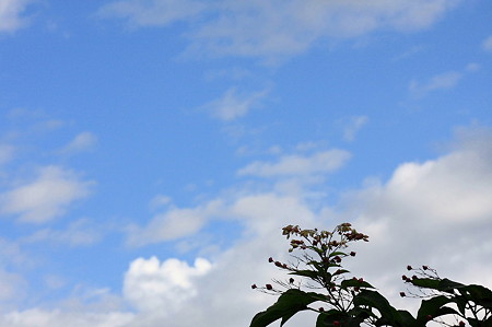 2011.09.06 和泉川 クサギ
