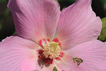 2011.09.16 和泉川 フヨウにミツバチ