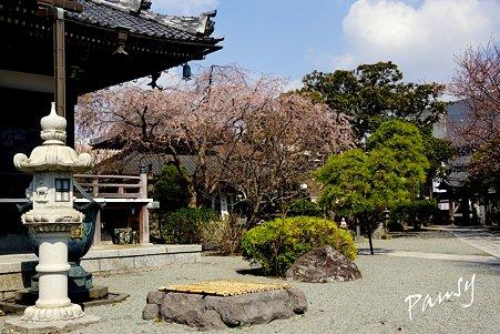 桜 kamakura 8