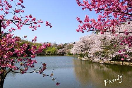 三ッ池公園の桜 10