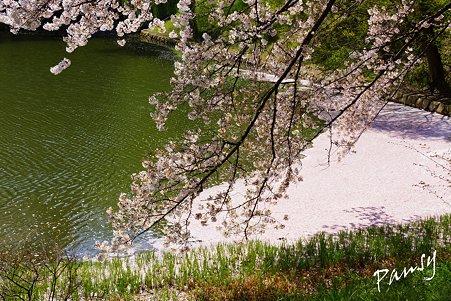 大きな花筏・・三ッ池公園の桜 11