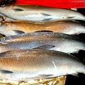 Photos: Bangus  Milkfish  バグス